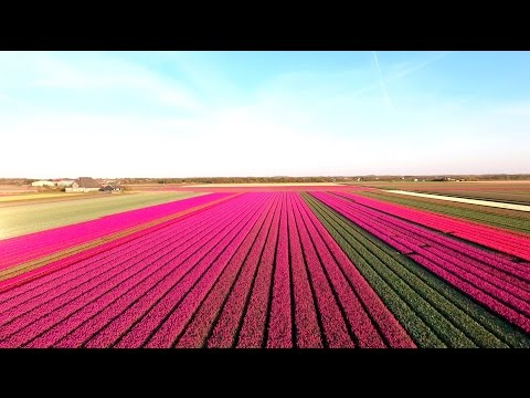 Faça uma viagem aérea sobre os campos de tulipas da Holanda