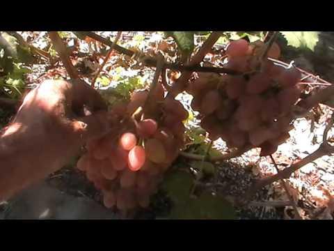 Виноград Румба: характеристика и описание сорта, посадка и уход
