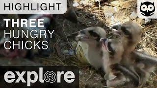 Three Hungry Osprey Chicks - Live Cam Highlight