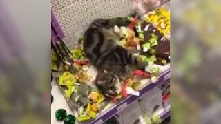 Cute Lost Cat Rolling Around in Catnip Toys in Pet Store