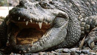 Crocodile - My Animal Friends - Animal Documentaries -Kids Educational Videos