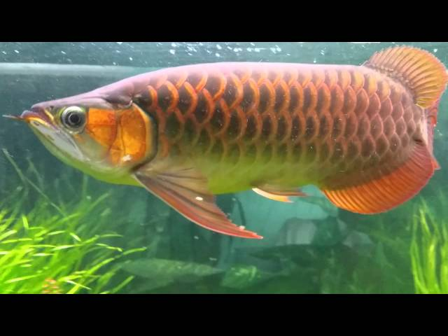 N1 Super Red Arowana in large aqua scape aquarium with wet dry sump filter system.