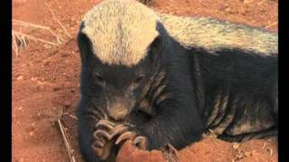 THE MEANEST ANIMAL IN THE WORLD? Trailer