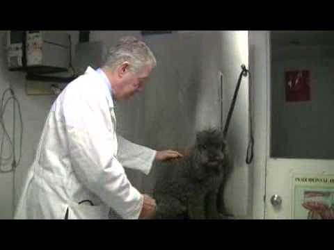 Video How to Tell if a Dog Has a Kidney Infection