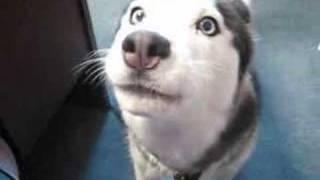 Aleut, Singing Dog