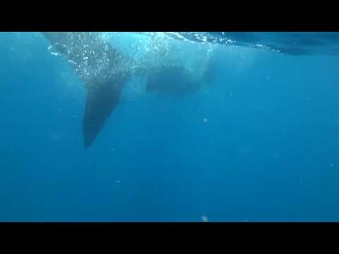 Snorkling with the giant Whale Sharks off Holbox Island, Mexico