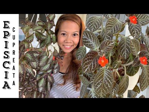 , title : 'Episcia  Cupreata House Plant Care 101 🌿 | A girl with a garden