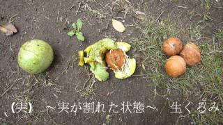 信濃くるみの収穫2015長野県東御市道の駅雷電くるみの里