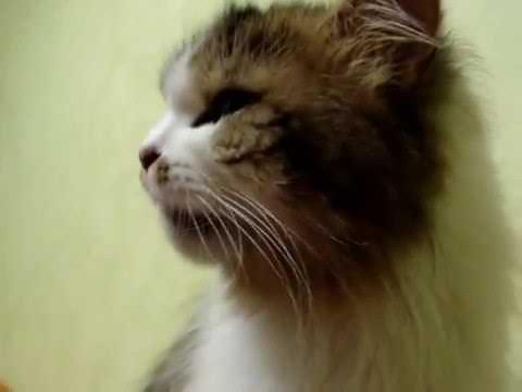 Кот устанавливает рекорд по чиханию