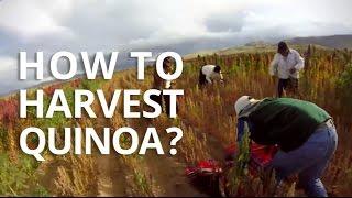How To Harvest Quinoa?