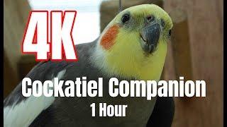 4K Cockatiel Companion 1 hour of Bird Sounds