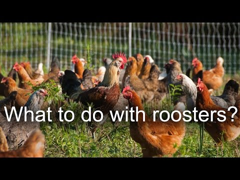 , title : 'What to do with old chickens and roosters?
