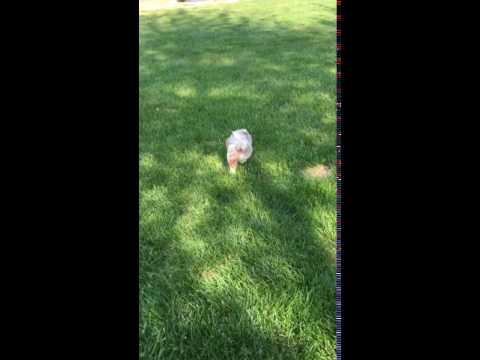 Bentley playing outside