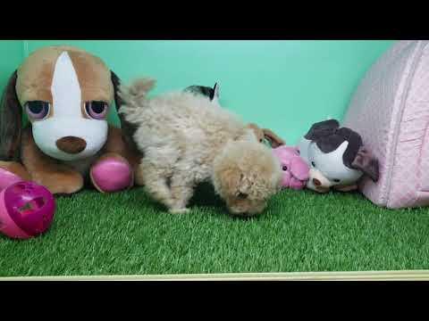Maltipoo Puppy - Male- Charlie