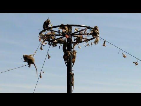 panjat pinang monyet di lokasi wisata goa kreo semarang
