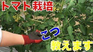 農場長がトマト栽培のコツ教えます。