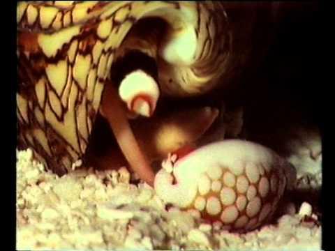 La varice variqueuse de la tête du membre