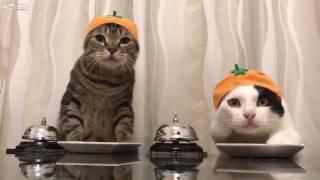 Twee afgetrainde katten, een grappig filmpje