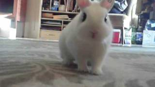 Buzz, The Dwarf Hotot