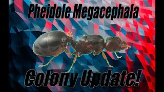 Pheidole's Fortress PHEIDOLE MEGACEPHALA SUPERCOLONY Update | Update Video Presented By Ant Co