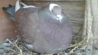 Le petit pigeonneau