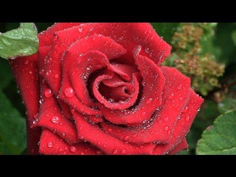 THE ROSE by Leann Rimes