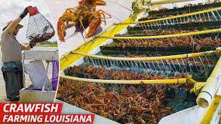 How Louisiana's Biggest Crawfish Farm Sells Three Million Pounds of Crawfish Every Year — Dan Does thumbnail
