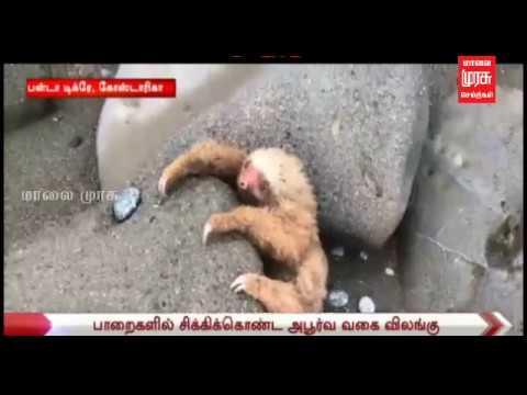 அபூர்வ வகை விலங்கு ஒன்று பாறைகளில் சிக்கிக்கொண்டு தவிக்கும் வீடியோ காட்சி