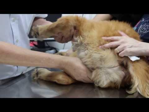 Video A Golden Retriever has Lyme Disease, Jan 19, 2014, 1 pm
