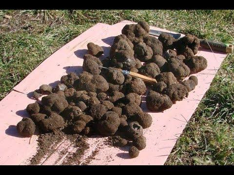 Как вырастить трюфель у себя на даче? Проверенно рабочий метод!