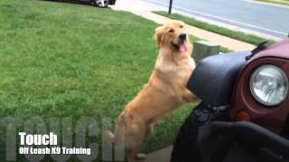 """1-Year Old Golden Retriever """"Biscuit:""""  Best Golden Retriever Trainers in DC, VA, and MD"""