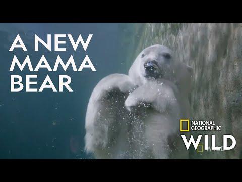 Welcoming a Polar Bear Cub | Secrets of the Zoo