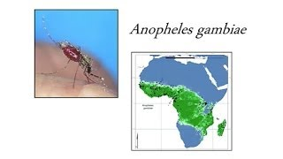 Breakdown of Reproductive Isolation Between Incipient species of the African Malaria Mosquito