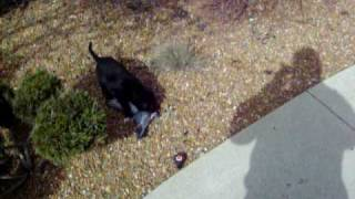 Lab puppy trips on pigeon wing - CALL PETA