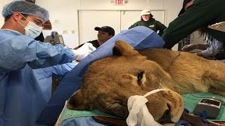 Lion Has A Mass Removed