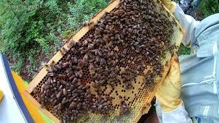 Hatching Worker Bee