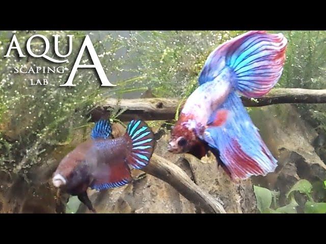 Aquascaping Lab - Betta Splendens Breeding Reproduction / Siamese Combattente Riproduzione