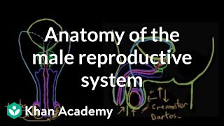 Anatomy of the male reproductive system | Reproductive system physiology | NCLEX-RN | Khan Academy