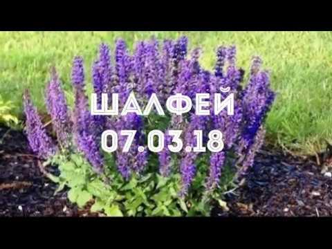 Шалфей 07.03.18 Перевалка рассады шалфея