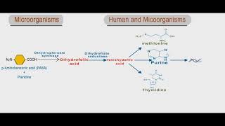 Sulfonamides and trimethoprim animation: folic acid inhibitors