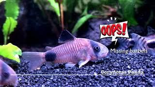 Meet the Corys - Fantastic bottom dwellers !