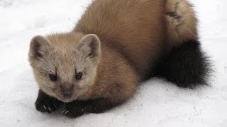Смотреть онлайн Промысловая охота на сибирского соболя с капканами