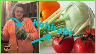 How to Transplant Kohlrabi Seedlings Plants Indoors  - Grow Room Indoor Growing