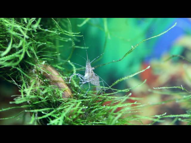 Shrimp tank with Corydoras