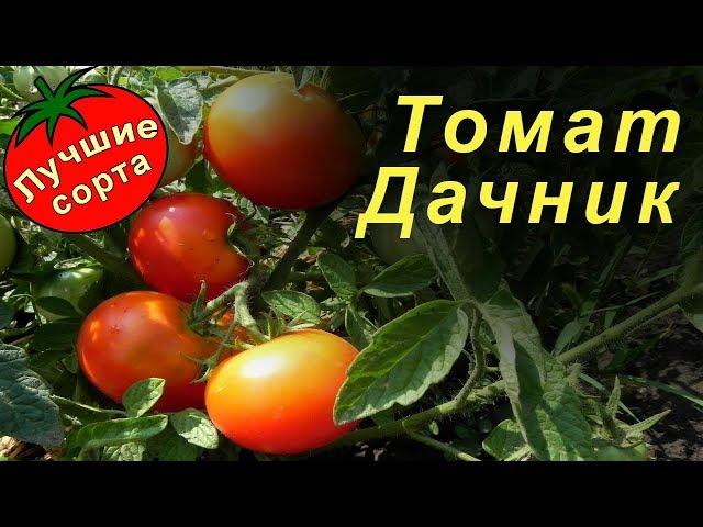 Видео Томат Дачник