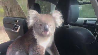 Australia Koala Sneaks Into Car To Cool Off In AC