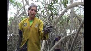 Proyecto Manglares: Labor de extracción de cangrejos (Turismo vivencial)