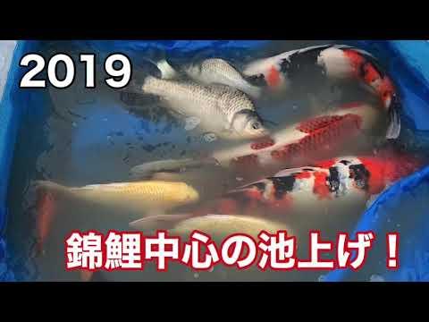 釣堀 菊水 2019年 錦鯉中心の池上げ