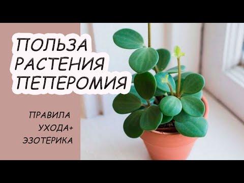 """Пеперомия """"цветок любви"""", уладит конфликты и принесет богатство. Полезное домашнее растение."""