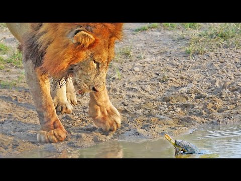Tiny Turtle Chases Away a Big Lion